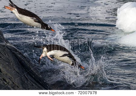 Gentoo Penguins Jumping Into The Water From The Rock