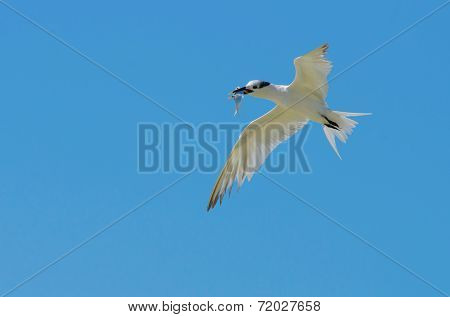 Sandwich Tern On Blue Background