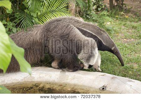 Giant Ant Eater