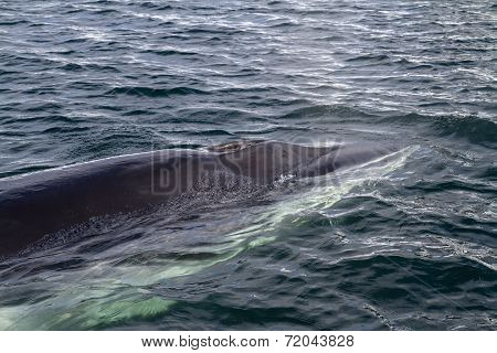 Minke Whale's Head Pop Up On The Surface Of The Water