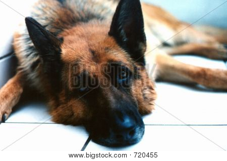German Shepherd Lying Down Looking At Camera