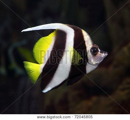 beautiful pennant coralfish swim underwater