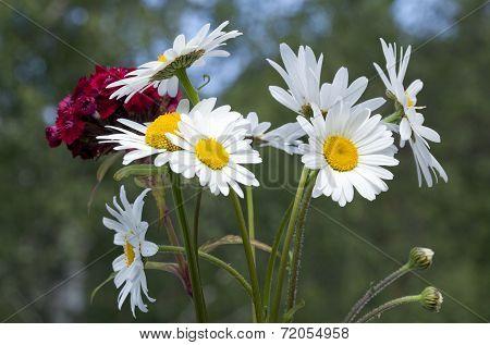 A bouquet of oxeye daisy, Leucanthemum vulgare.