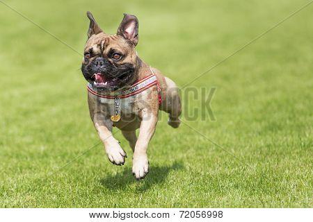 Running French Bulldog Whelp