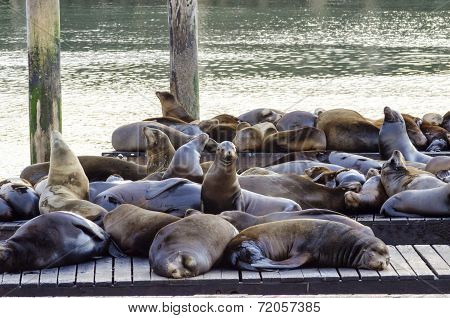Sea Lions, Pier 39, San Francisco, California