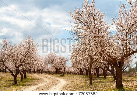 Almond Tree Orchard