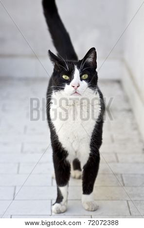 a cute black and white cat walking