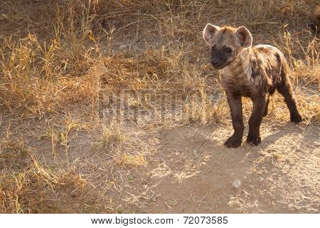 Spotted Hyena Cub Watching Something