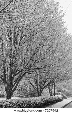 Snow On Bare Trees In Black And White