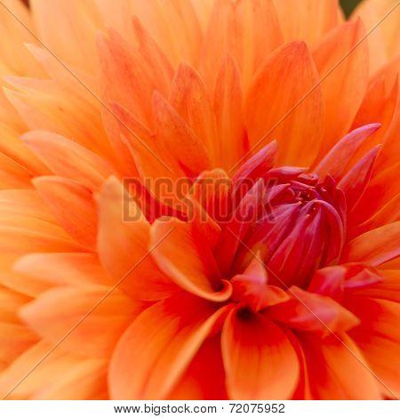 Close-up Image of Beautiful Orange Chrysanthemum. Flower Background