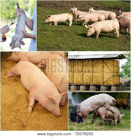 Pig Farm Collection