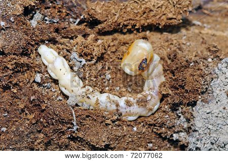 Larva Of Flatheaded Woodborer(capnodis Tenebrionis)