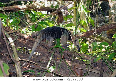 Southern Tamandua (tamandua Tetradactyla)