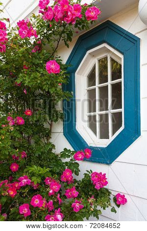 Beautiful 'William Baffin' rugosa roses growing around an ornamental window on an older style home.