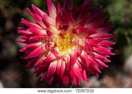 Dahlia at Sunrise