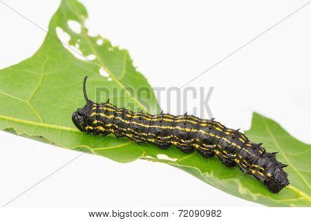 Striped Oakworm On Leaf