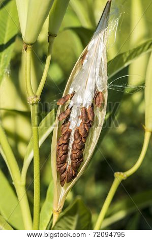 Milkweed Plant, Asclepias 'tuberosa' Seed Pod