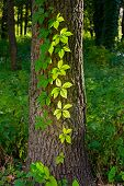 picture of creeper  - Creeper leaves on a tree trunk under a strong sun ray at the beginning of autumn - JPG