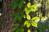 stock photo of creeper  - Creeper leaves on a tree trunk under a strong sun ray at the beginning of autumn - JPG