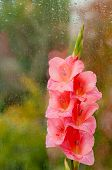 pic of gladiolus  - Beautiful pink gladiolus on a background of wet glass - JPG