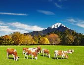 stock photo of cattle breeding  - Mountain landscape with grazing cows - JPG
