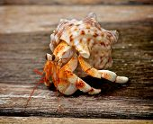 stock photo of hermit  - Orange Hermit Crab in His Shell isolated on Plank Wooden background Outdoors - JPG