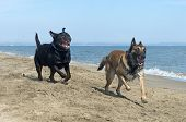 image of belgian shepherd  - playing rottweiler and belgian shepherd on the beach - JPG