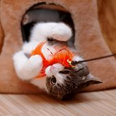 image of tabby-cat  - Striped with white the cat plays with a toy - JPG