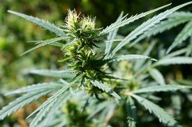 foto of psychodelic  - The green cannabis plant in the garden