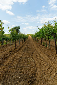 pic of tokay wine  - Beautiful landscape in the Tokay grapes  - JPG