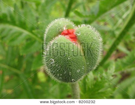 Oriental poppy bud (Papaver orientale).  Before flowering