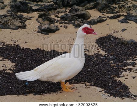 A muscovy duck on the beach