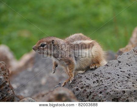 Barbary ground squirrel on Fuerteventura
