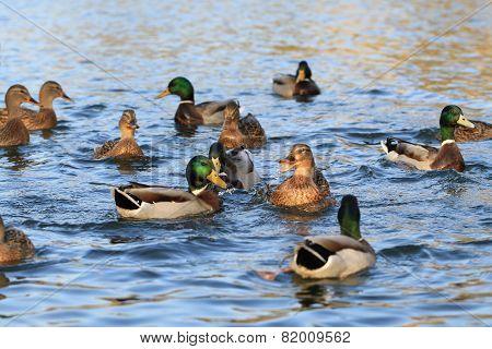 Wild Ducks In The Lake