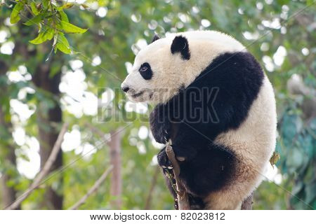 Giant Panda Cub sitting on branch - Chengdu, China