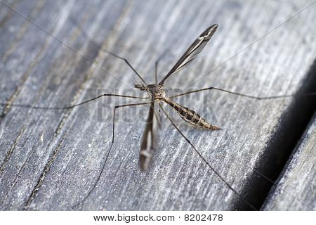 Male Mosquito (culicidae)