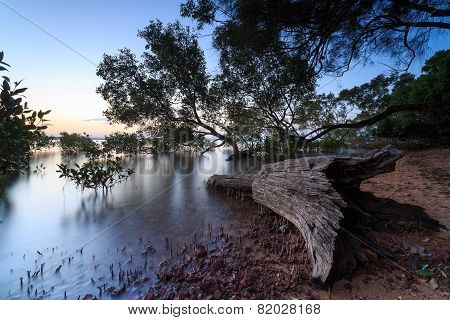 Australian Mangrove Trees At Sunset