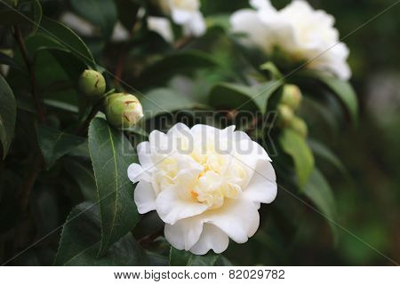 Camellia flowers and buds