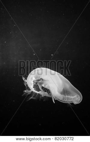 Jellyfish BW