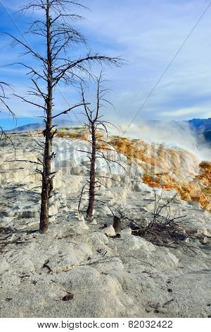 Dead Trees In Mammoth Hot Springs Area Of Yellowstone National Park, Wyoming