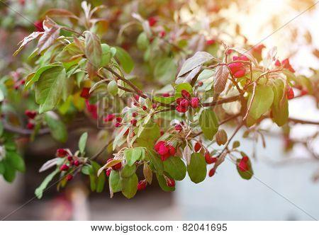 Blooming Sprig Of Wild Apple Tree In Springtime