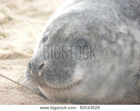 Smiling, baby grey seal