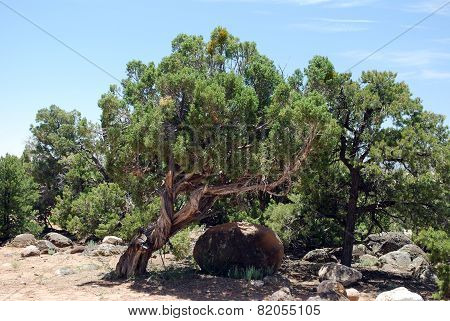 Juniper Growing Near Large Rock