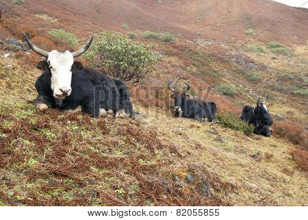Yaks In The Mountains