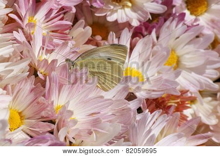 Butterfly In Chrysanthemums