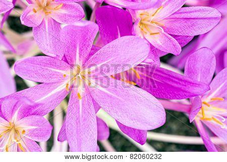 Crocus Flower Head Top View