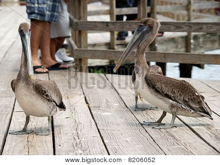 Palicans walking