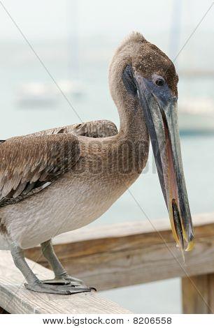 Pelican eating fish