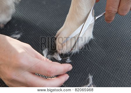 Grooming Golden Retriever Dog On The Table.