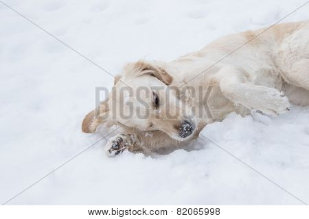 Golden Retriever Is Resting On The Snow
